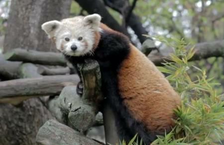 Bam, panda rojo del Zoo de Jerez