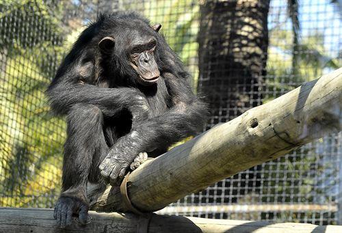 Homer, el nuevo chimpancé del Zoo de Jerez